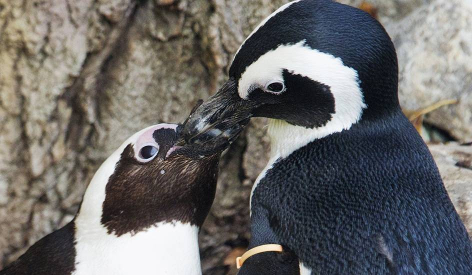 Beso de pingüino