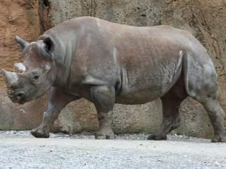 Rinoceronte negro del África occidental