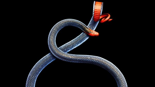 'Blue Malayan Coral Snake'