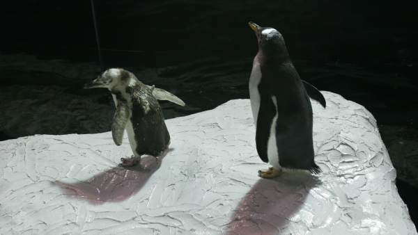 parejas polluelo