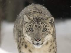 Leopardo de las nieves