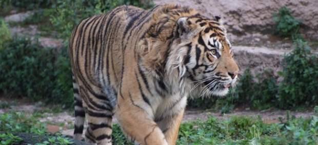 El tigre de Sumatra.