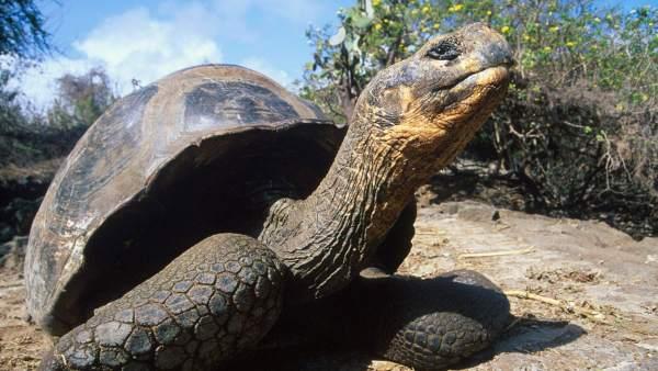Tortugas Galápagos,Tortugas Gigante Galápagos, Tortuga Gigante de Cerro Azul, Chelonoidis vicina, Tortuga Gigante Isabela