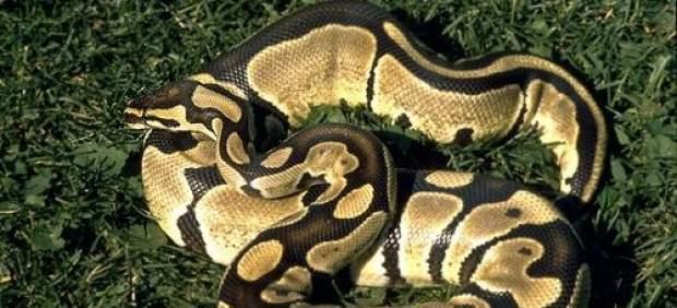 Serpiente pintón