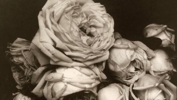'Heavy Roses', Voulangis, France, 1914