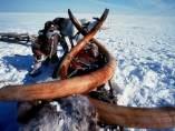 Colmillos de mamut en Siberia