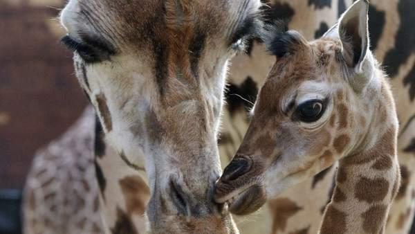La población de jirafas cae un 43% y corre peligro de extinción