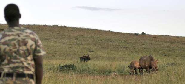 Posible adiós al rinoceronte por la caza furtiva