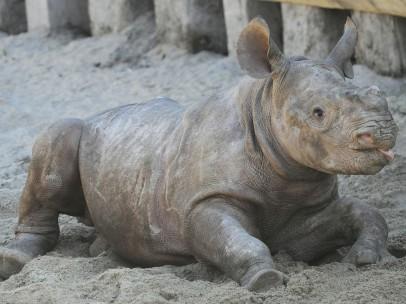 Un bebé rinoceronte juguetón