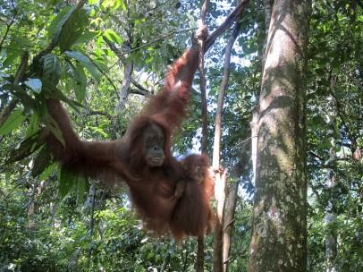 Orangutanes de Sumatra