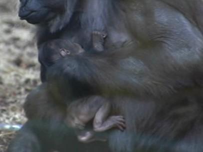 Nacimiento de un gorila en Cantabria