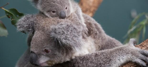 Nace una koala blanca, animal extremadamente raro, en un zoo de Australia
