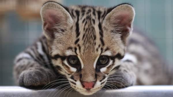 Reaparece un felino que se creía extinto hace diez años en Argentina