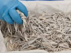 Una operación contra el tráfico de angulas deja 4.000 kilos incautados y 48 detenidos