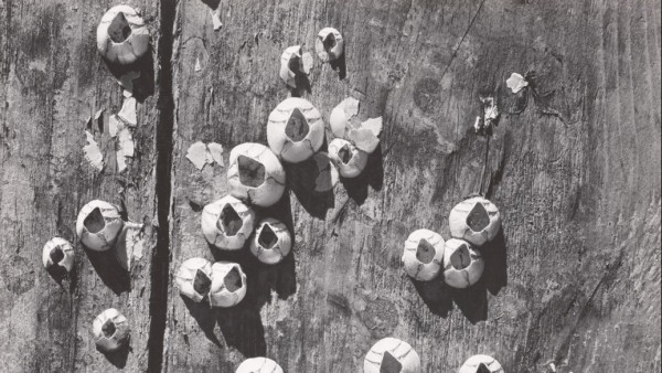 'Barnacles, Cape Cod, 1938'