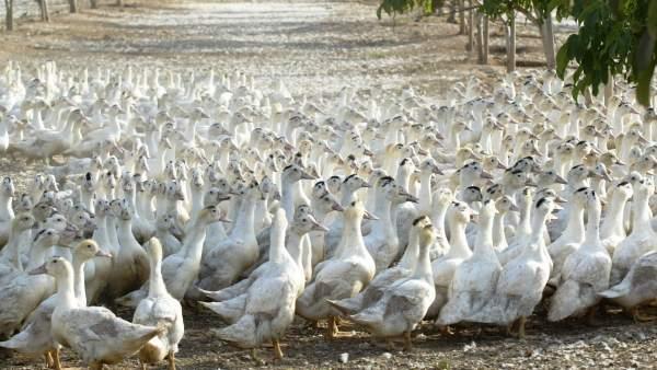 Adiós al consumo de foie gras en California