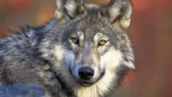 Que Viene El Lobo Las Ovejas Ya Avisan A Través De Mensajes De Texto