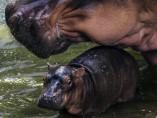 Dos generaciones de hipopótamos