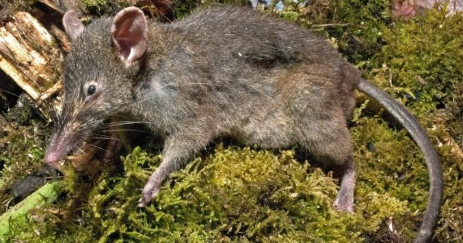 Nueva especie de rata sin dientes