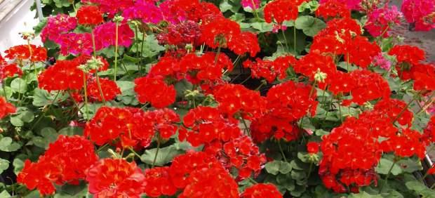 Geranios más longevos y sin polen