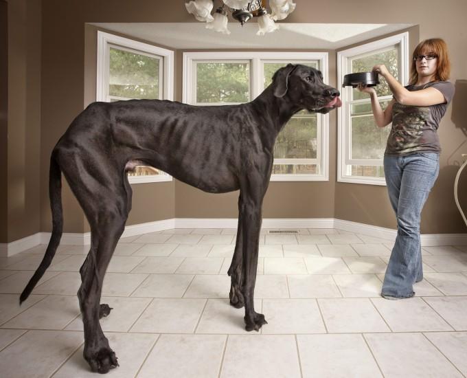 El perro más alto del mundo