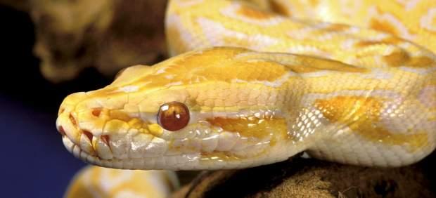 Serpiente pit�n