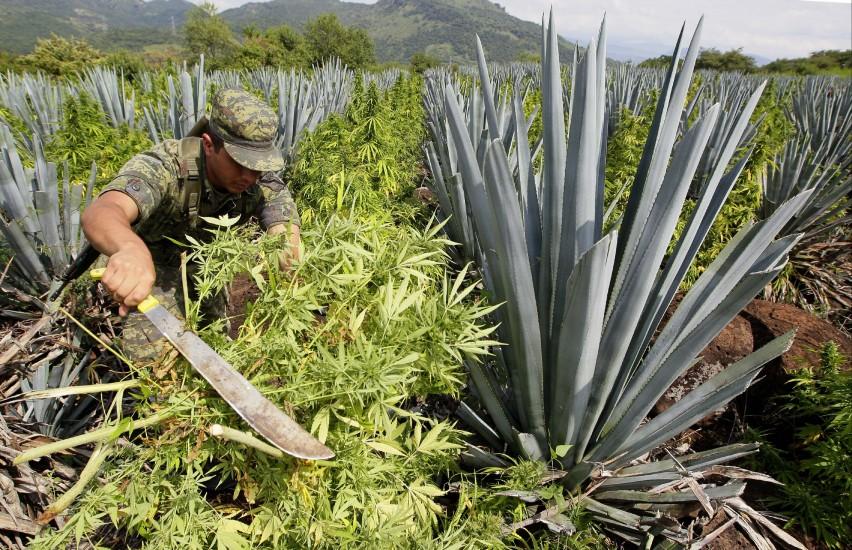 Destrucción de una plantación de marihuana