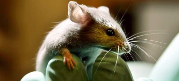 Rat�n de laboratorio