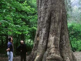 El árbol más grande de España