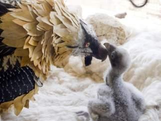 Polluelo de quebrantahuesos