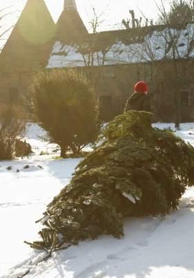 el futuro de los rboles de navidad naturales ser triturados y servir como abono