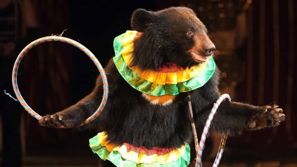 Un oso en un circo