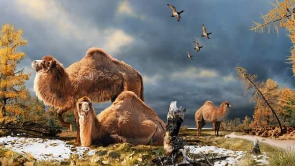 Camello Gigante