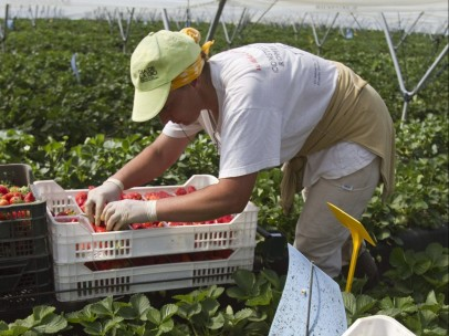 La fresa, una alternativa al desempleo