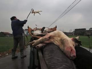 Un hombre recoge cerdos muertos en Jiaxing, China.