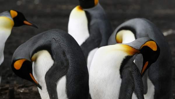 Bluff Cove Lagoon, el hogar de los pingüinos