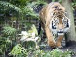 Un tigre de Sumatra en Londres