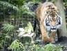 'Bonita', el tigre acechado por los aldeanos tras matar a dos personas