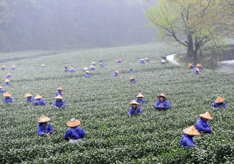 Comienza la recogida del té