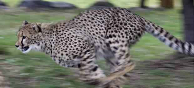 Un guepardo a la carrera