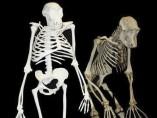 Reconstrucci�n de un posible ancestro del ser humano