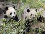 Osos panda gemelos