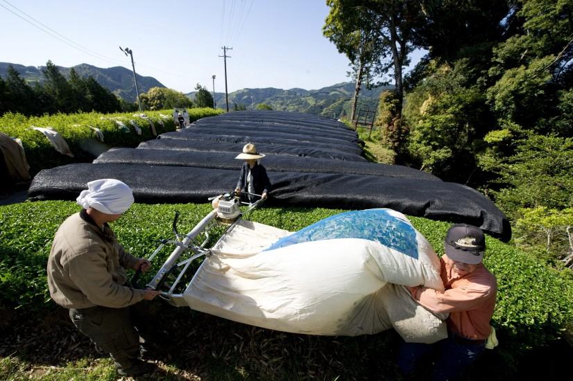 Recolección de té en Japón