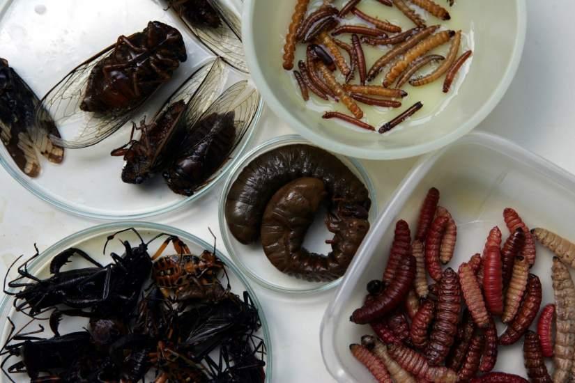 los chefs espa oles son poco partidarios de cocinar insectos