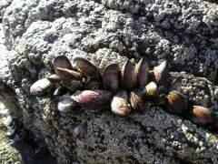 Los mejillones, en peligro por la creciente acidez del mar