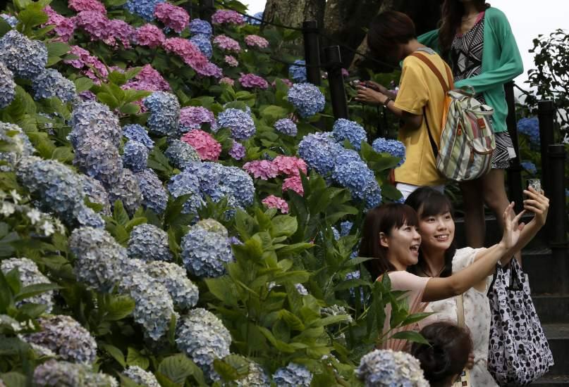 Hortensias en flor en el templo de Hase
