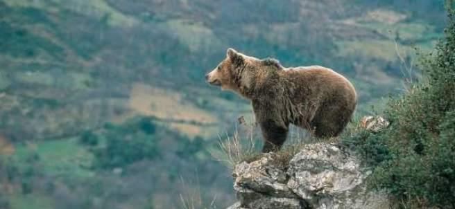 Ejemplar de oso pardo