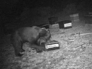 Agentes medioambientales colocaron cámaras para obtener imágenes del oso pardo.