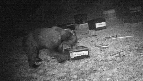 Confirman la presencia del oso pardo en Zamora, considerado extinto desde hace un siglo
