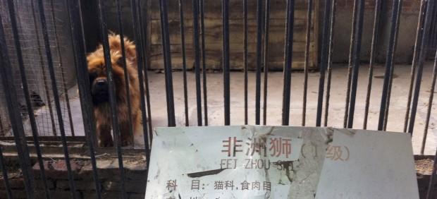 ¿Mastin tibetano o un león?